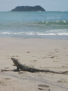 An Iguana that hung out with us for a bit
